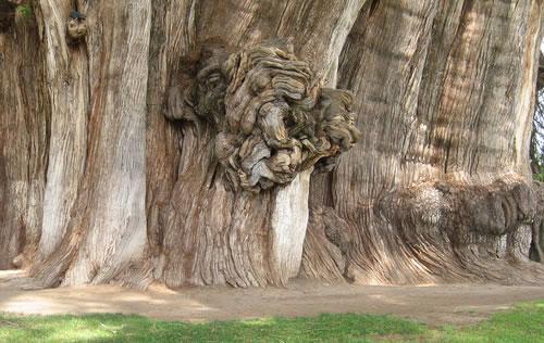 tule-tree-knot-24